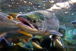 Как почувствовать себя на рыбалке, будто рыба в воде? Про лосося