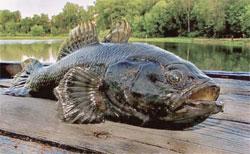 Как почувствовать себя на рыбалке, будто рыба в воде? Про ротана