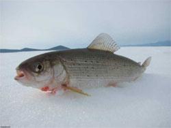 Как почувствовать себя на рыбалке, будто рыба в воде? Про ряпушку