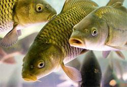 Как почувствовать себя на рыбалке, будто рыба в воде? Про сазана