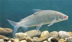 Как почувствовать себя на рыбалке, будто рыба в воде? Про сига
