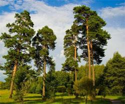 Аромат соснового леса
