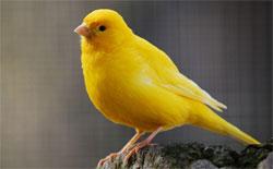 Заморская птица - канарейка