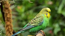 Волнистые попугайчики в нашем доме