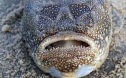 Ядовитые рыбы наших морей