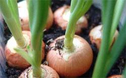 О пользе зеленого лука + Блюда из зеленого лука