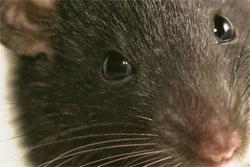 Крыска Мышка