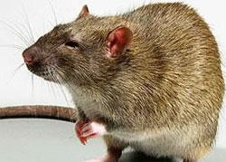 О серых крысах