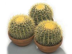 Азбука кактусовода: прививки