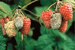 Болезни ягодных культур