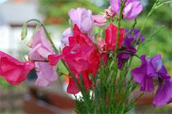 Сорта душистого горошка для украшения вашего сада