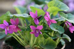 Растения в японском саду: Благоухающие растения