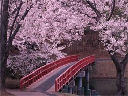 Растения в японском саду: Традиционные растения - Часть первая - Сакура, Бамбук и Камелия