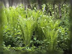 Растения в японском саду: Традиционные растения - Часть вторая - Папоротники