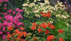 Растения в японском саду: Традиционные растения - Часть третья - Рододендрон и Вечнозеленые растения