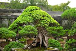 Растения в японском саду: Традиционные растения - Часть четвертая - Бонсай