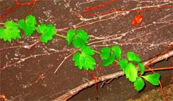 Растения в японском саду: Вьющиеся растения