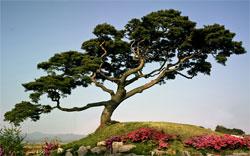 Растения в японском саду: Деревья