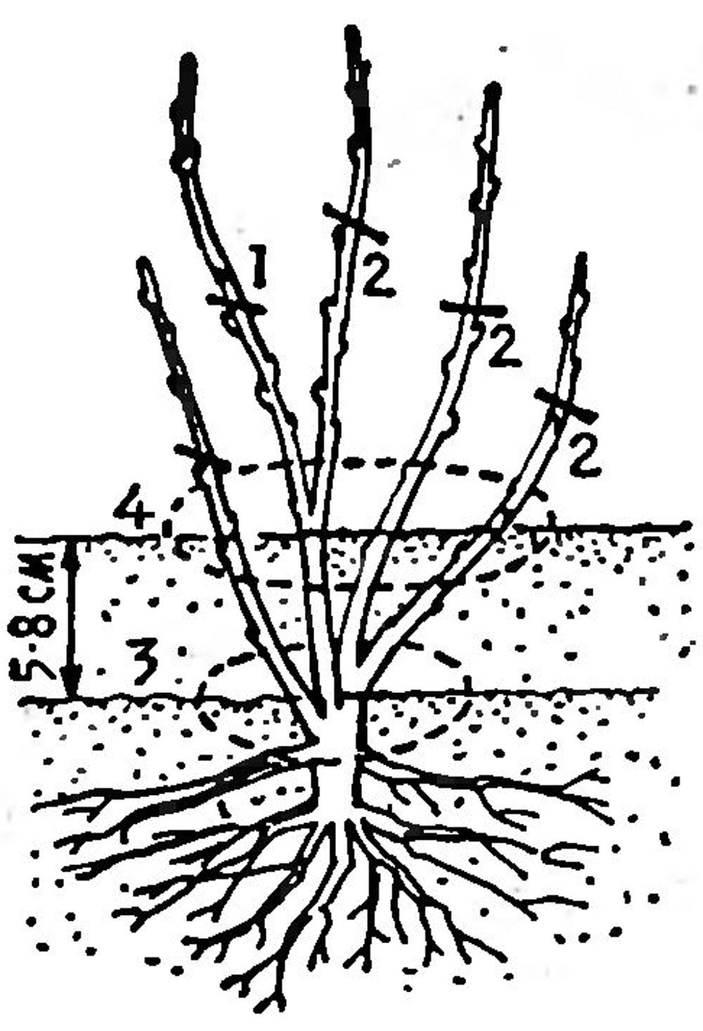 Как посадить смородину пошаговая инструкция 14
