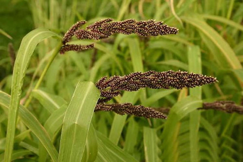 козлятник фото растение