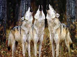 Разгадана тайна волчьего воя