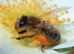 Как получить пчелиный яд