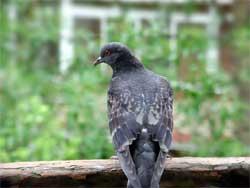 Как сделать, чтобы голуби не садились на поручни балкона