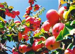 Как выращивать плодовые деревья и кустарники