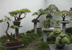 Как выращивать бонсаи в домашних условиях