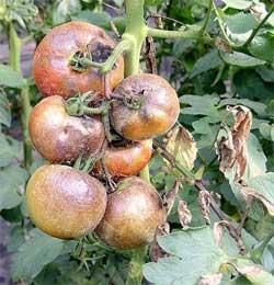 Болезни томата, перца, баклажана