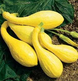 Особенности выращивания крукнека