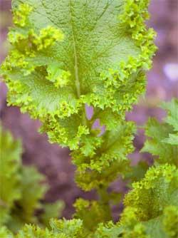 Особенности выращивания листовой салатной горчицы