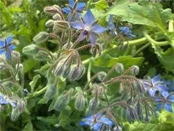 Особенности выращивания огуречной травы