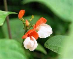 Особенности выращивания огненно-красной фасоли