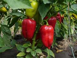 Перец: особенности выращивания
