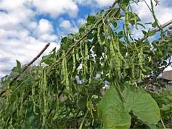 Особенности выращивания вьющейся фасоли