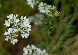 Особенности выращивания кориандра