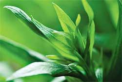 Особенности выращивания эстрагона