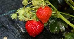 Сохранение урожая клубники