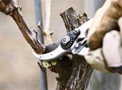 Лечим поврежденную кору плодовых деревьев