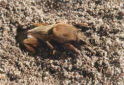 Эффективный способ защиты посевов от медведки