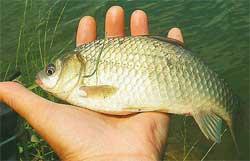 Звуковая приманка для рыбы