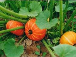 Гороскоп огородника