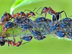 Как извести муравьев