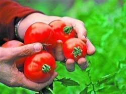Про самые помидоры