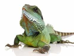 Как ухаживать за ящерицей, игуаной, хамелеоном, агамой, сцинком, эублефаром