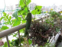 Выращиваем огурцы на балконе