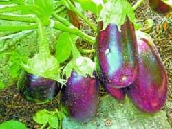 Как правильно ухаживать за баклажанами, томатами и кабачками