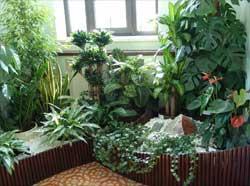 комнатные растения традесканция.