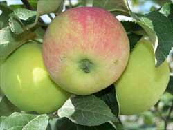 Простое и удобное приспособление для сбора урожая фруктов